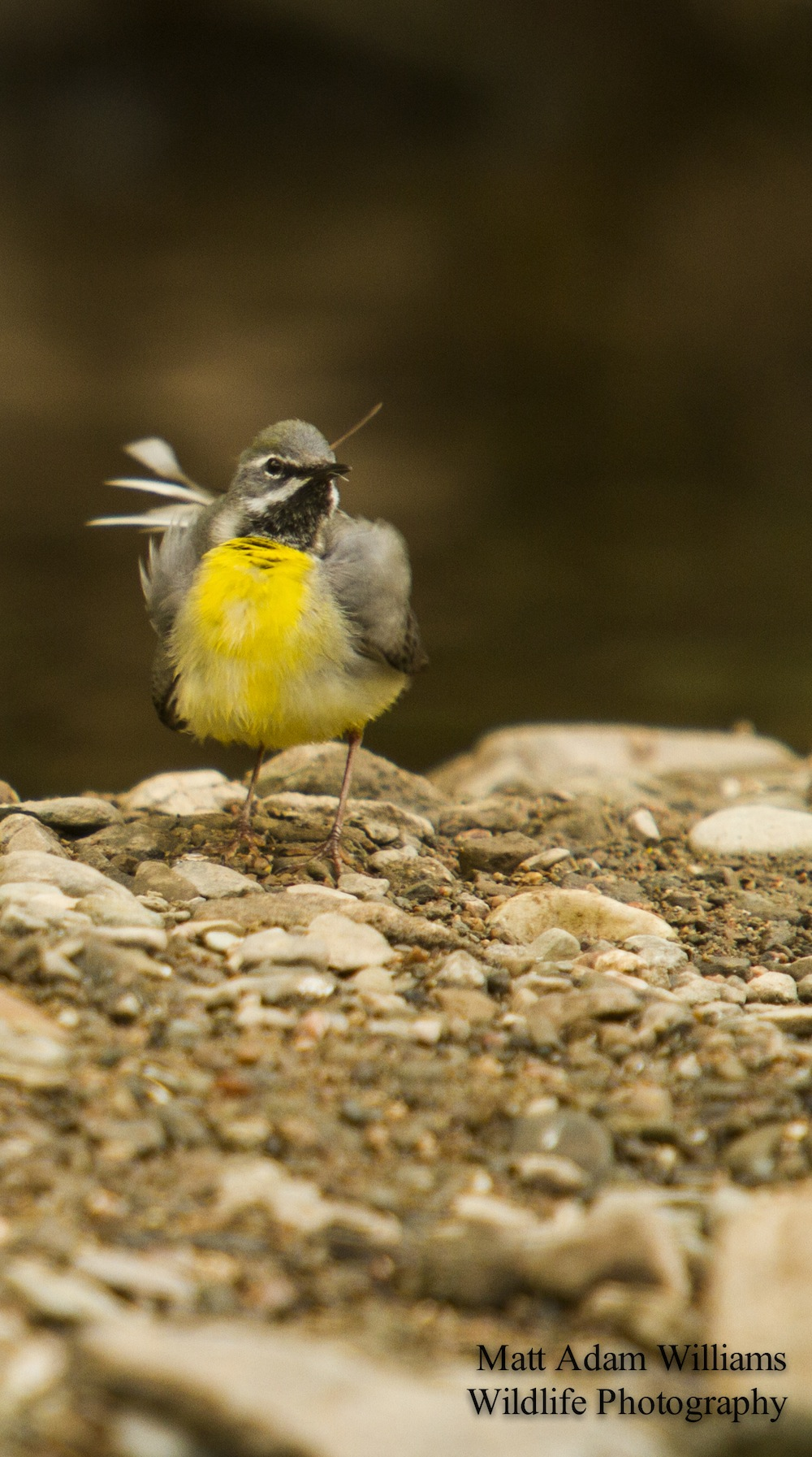 4605, grey wagtail, Knapp and Papermill